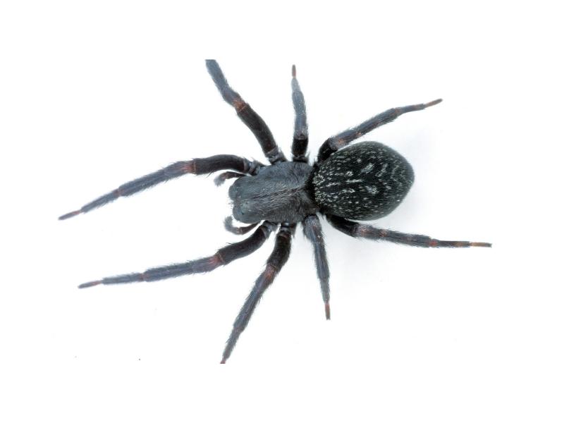 Most Venomous Spiders in Australia - Black House Spider