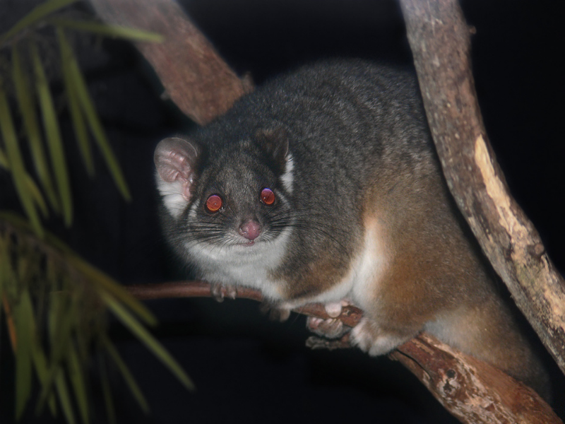 City Pest Control for Common Ringtail Possums