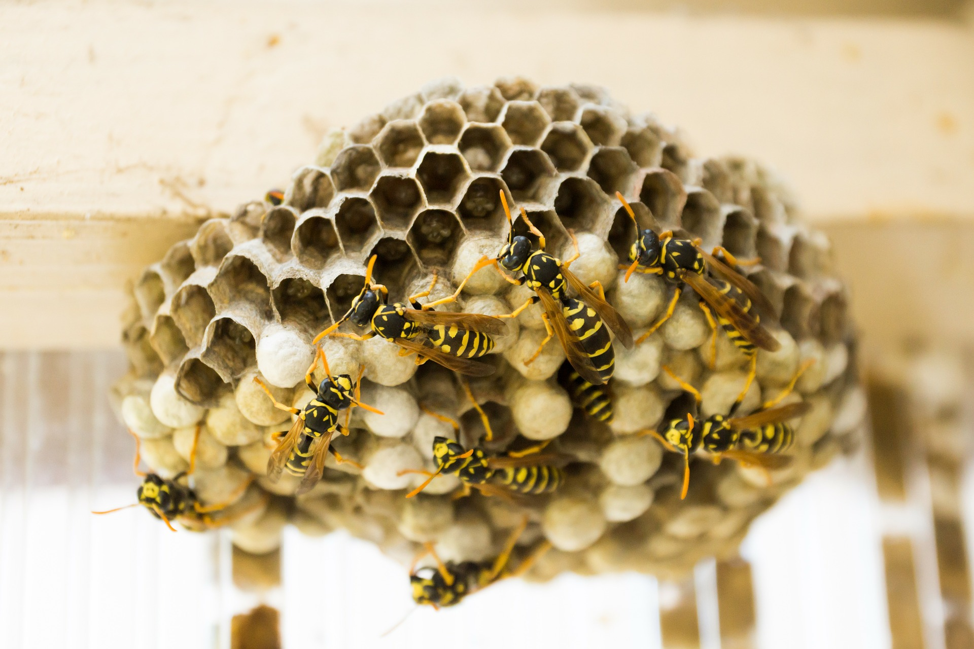 wasp nest removal services queanbeyan
