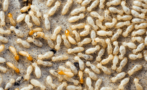 2021 How Much Does Pest Control Cost In Canberra